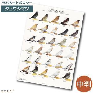 ラミネートポスター【中判】ジュウシマツ*同梱不可*送料個別発生*|torimura
