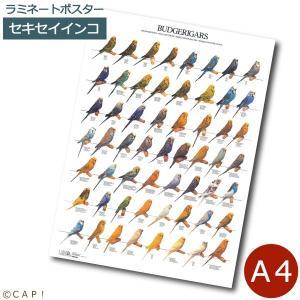 ラミネートポスター【A4サイズ】セキセイインコ|torimura