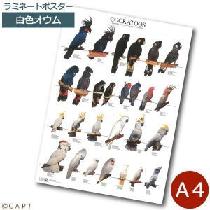 ラミネートポスター【A4サイズ】カカトゥー torimura