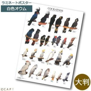 ラミネートポスター【大判】カカトゥー*同梱不可*送料個別発生* torimura