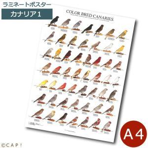 ラミネートポスター【A4サイズ】カナリア1 torimura