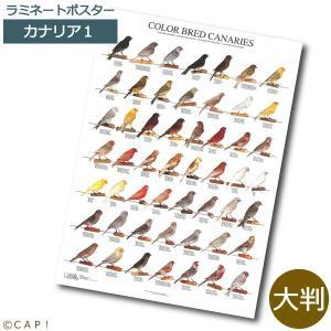 ラミネートポスター【大判】カナリア1*同梱不可*送料個別発生* torimura