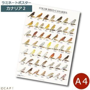 ラミネートポスター【A4サイズ】カナリア2 torimura