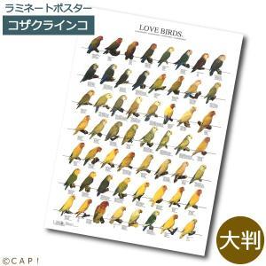 ラミネートポスター【大判】ラブバード1 コザクラインコ*同梱不可*送料個別発生* torimura