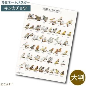 ラミネートポスター【大判】キンカチョウ*同梱不可*送料個別発生* torimura