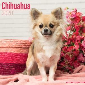 2020ドッグカレンダー 31「チワワ」(英国製)|tosindo