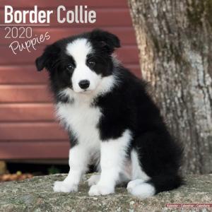 2020ドッグカレンダー 71「ボーダーコリー/子犬」(英国製)|tosindo