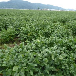 【1kg】岡山県産丹波種黒大豆(はねだし)1kg|totalbox|04