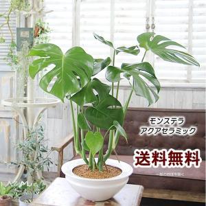 土を使わない アクアセラミック 送料無料 モンステラ UFO型陶器鉢 観葉植物 インテリア