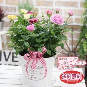 送料無料 華やか ミニバラ MIXカラーのブリキの寄せ植え 鉢花 鉢植え|tsukaguchi