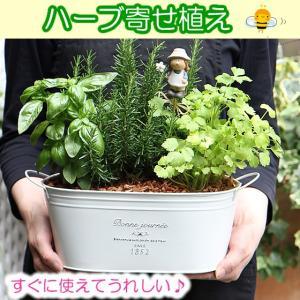かわいい♪◎そのまま育てる♪かわいいブリキ鉢・料理に使えるキッチンハーブの寄せ植えセット(キッチンハ...