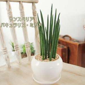 送料無料 サンスベリア バキュラリスミカド 白丸器 観葉植物 インテリア ギフト プレゼント|tsukaguchi