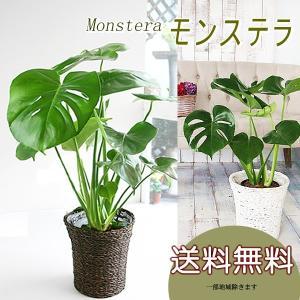 選べる鉢カバー付き 送料無料 大きな葉はアジアンで人気No1 モンステラ 6号 観葉植物 インテリア...