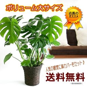 とってもボリュームあるサイズです 鉢カバー付です  送料無料 モンステラ 7号 観葉植物