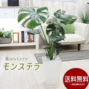 送料無料 モンステラ大 選べる陶器鉢 観葉植物 インテリア ギフト プレゼント
