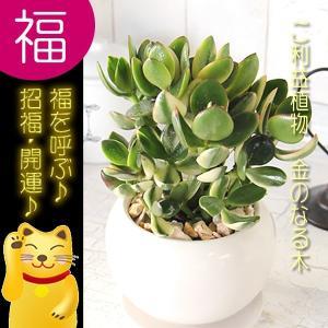 送料無料 迎福 縁起良い金運植物 多肉植物 金のなる木 成金草 白丸器 観葉植物|tsukaguchi