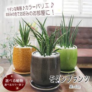 お部屋に合わせて選べる観葉植物 選べるモダンカラー陶器鉢 サンスベリア バキュラリス ミカド ファーンウッド フランシシー