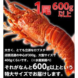 海老 えび エビ ロブスター 南アフリカ産 訳あり 特大ボイルロブスター 600g以上 冷凍 同梱可能|tsukiji-ichiba2|03
