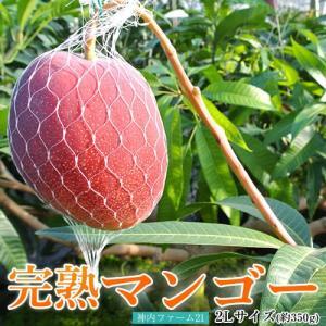 北海道産 「神内ファーム21 完熟マンゴー」 2Lサイズ(350g)以上 ※冷蔵 送料無料 tsukijiichiba