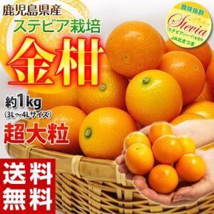 送料無料 金柑 鹿児島県産 ステビア栽培きんかん 超大粒3L〜4Lサイズ 約1kg|tsukijiichiba