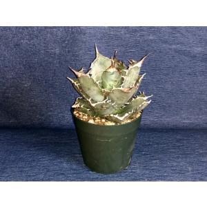 鉢サイズ:11cm サイズ:W(一番長い葉〜葉)12cm×(鉢底〜葉先)20cm×(植物本体)H10...