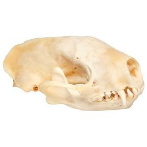 頭蓋骨は男たちの挽歌ボーンを低下させることなく、クリーンなホワイト仕上げの生成にまたは酵素の持つ酵素...