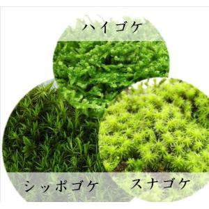 苔ミニパック12cm×19cm×4cm 3個セット(ハイゴケ、スナゴケ、シッポゴケ)|twinklebazaar