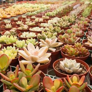 【商品詳細】  観葉植物 観葉植物多肉植物  多肉植物 「季節のおまかせ6ポットセット」  7.5c...