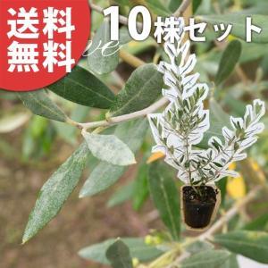 オリーブ(10本セット) 樹高0.3m前後 9cmポット オリーブの木 鉢植え 苗木 植木 苗 庭木 生け垣 送料無料
