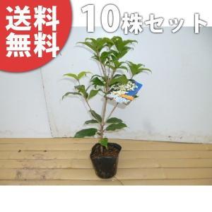 ギンモクセイ(10本セット) 樹高0.3m前後 10.5cmポット 銀木犀 ぎんもくせい 秋に白い花が咲き優しい香りが特徴 苗木 植木 苗 庭木 生け垣 送料無料