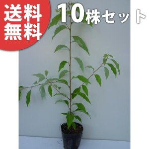 クスノキ(10本セット) 樹高0.3m前後 10.5cmポット くすのき 楠 楠の木 苗木 植木 苗 庭木 生け垣 送料無料