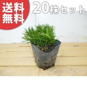 シバザクラ(20ポットセット)  9cmポット 芝桜 苗木 植木 苗 庭木 生け垣 送料無料