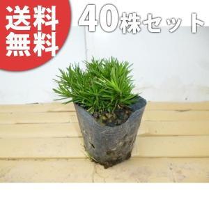 シバザクラ(40ポットセット)  9cmポット 芝桜 苗木 植木 苗 庭木 生け垣 送料無料