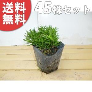 シバザクラ(45ポットセット)  9cmポット 芝桜 苗木 植木 苗 庭木 生け垣 送料無料