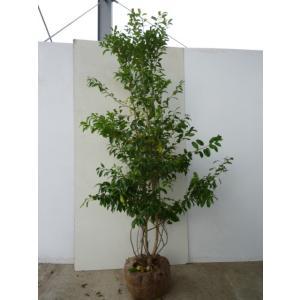 ソヨゴ・メス 樹高1.2m前後 根巻 雌木 株立ち 苗木 植木 苗 庭木 生け垣 送料無料