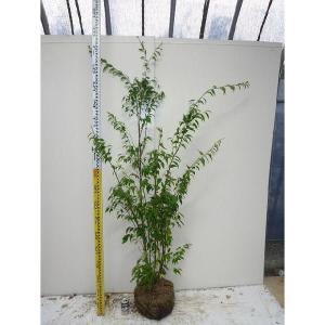 ハイノキ 樹高1.2m前後 根巻 株立ち 灰の木 はいのき 常緑樹で5-6月に小さな白い花をたくさん咲かせます。 苗木 植木 苗 庭木 生け垣 送料無料
