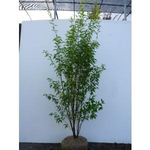 ハイノキ 樹高1.5m前後 根巻 株立ち 灰の木 はいのき 常緑樹で5-6月に小さな白い花をたくさん咲かせます。 苗木 植木 苗 庭木 生け垣 送料無料