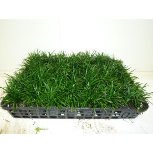タマリュウ  7.5cmポット たまりゅう 玉竜 リュウノヒゲ  苗木 植木 苗 庭木 生け垣
