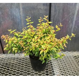 アベリア・カレイドスコープ  /  樹高0.25m前後  15cmポット  /  新品種カレイドスコープ(カレードスコープ)  斑入り(万華鏡)