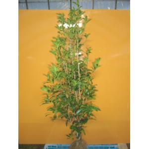 キンモクセイ  /  樹高1.5m前後  根巻き  /  秋に花を咲かせ優しい香りが特徴生垣用  金木犀