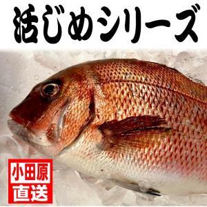 真鯛・活き締め・約1.5kg・刺身用・生食用【小田原港より即日発送/うまいもの市場・活〆シリーズ】鮮度重視、旨味が違います。|umaimono18