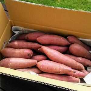 さつまいも 5kg M-Sサイズ 20〜25本入 紅はるか ベニーモ 熟成蔵出し 熊本県 なかせ農園 送料無料 お歳暮 母の日 敬老の日 贈答品 お取り寄せ|umakore|04