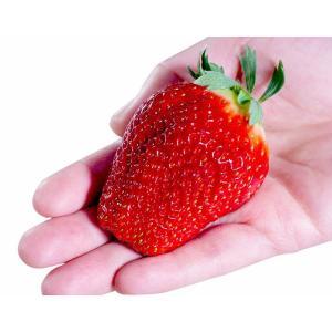 いちご イチゴ 果物 苺 千葉県産 アイベリー 12〜15粒 約500g フルーツ 国産 ギフト 贈り物 プレゼント 贈答 お取り寄せ お礼 お返し 冷蔵|umeebeccyasannriku|03
