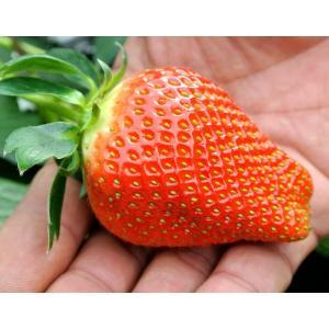 いちご イチゴ 果物 苺 千葉県産 アイベリー 12〜15粒 約500g フルーツ 国産 ギフト 贈り物 プレゼント 贈答 お取り寄せ お礼 お返し 冷蔵|umeebeccyasannriku|04