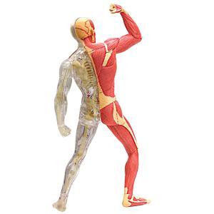 人体解剖模型 筋肉・骨格モデル Human Muscle & Skeleton Model|uminekoya|02