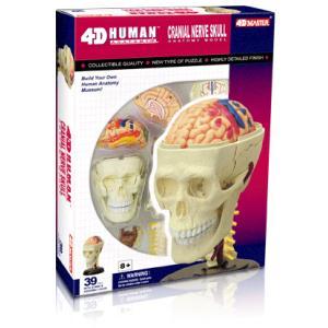 人体解剖模型 頭解剖モデル Cranial Nerve Skull|uminekoya