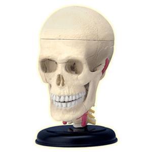 人体解剖模型 頭解剖モデル Cranial Nerve Skull|uminekoya|02