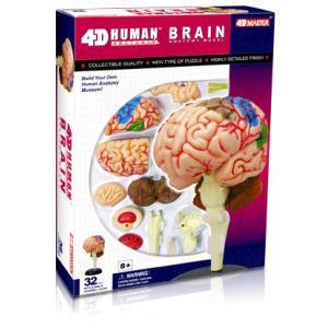 人体解剖模型 脳解剖モデル Human Brain|uminekoya