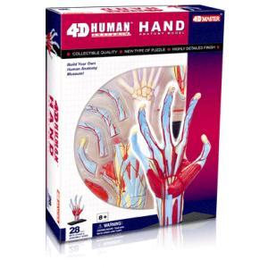 人体解剖模型 手解剖モデル Human Anatomy HAND uminekoya