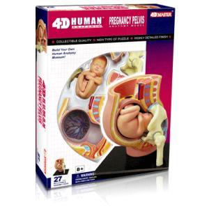 人体解剖模型 妊娠解剖モデル Human Anatomy Pregnancy Pelvis|uminekoya